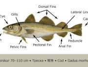 Cod_Anatomy