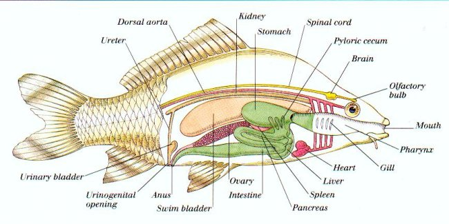 Internal_organs_of_a_fish