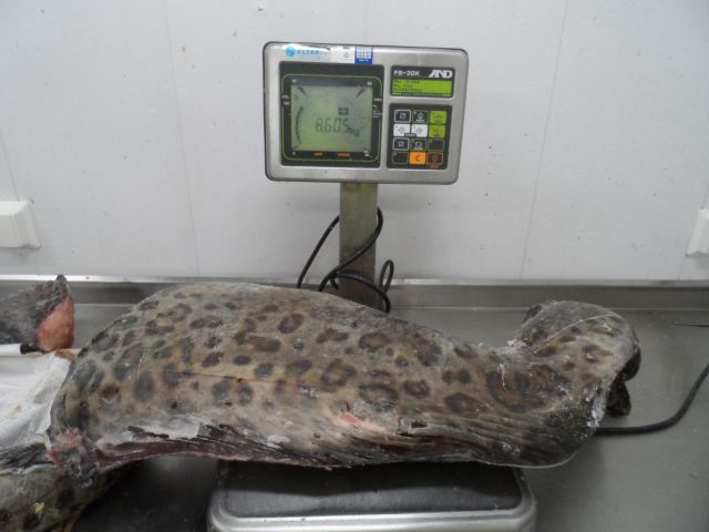CEAN SPOTTED CATFISH