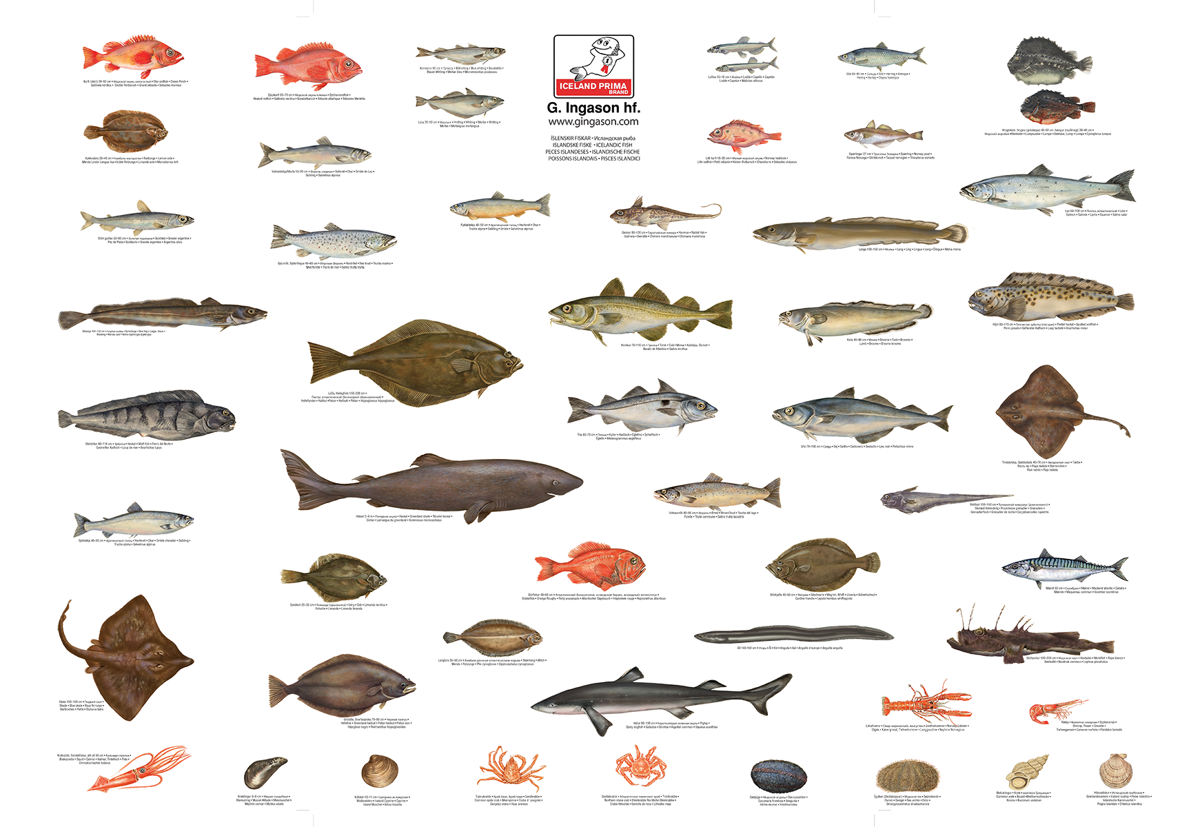 atlantic saltwater fish chart