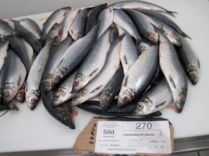 ATLANTIC HERRING / CLUPEA HERANGUS