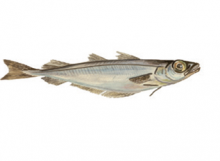 BLUE-WHITING