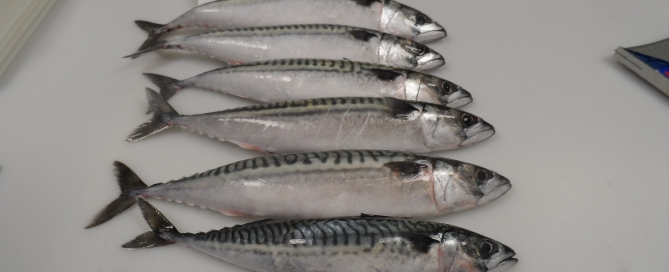 MACKEREL TRAWL FRESH