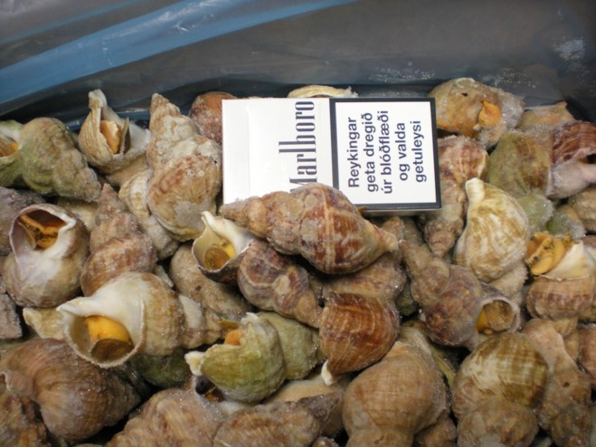 Sea Whelk Buccum