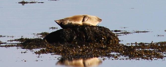 Icelandic Seal