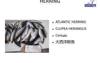 Atlantic Herring (Clupea harengus) WR