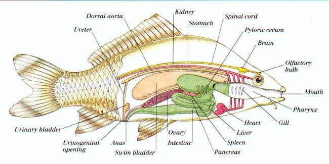 Internal_organs_of_a_fish