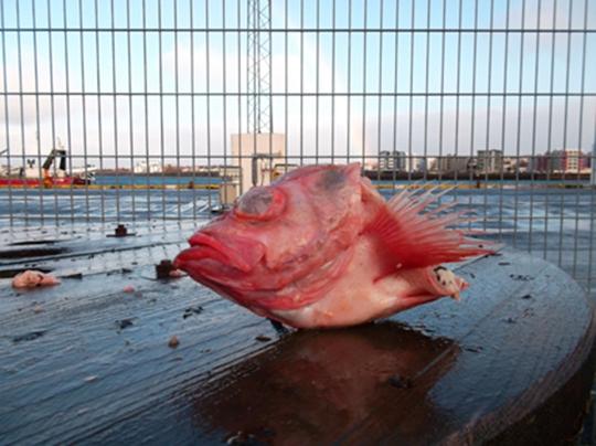 Redfish Head / SEBASTES MARINUS