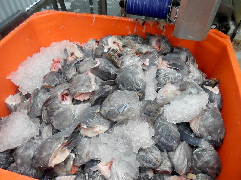 Wolffish / Ocean Catfish, G. Ingason Seafood