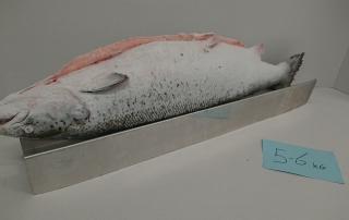 Salmon (Salmo salar) IQF Superior