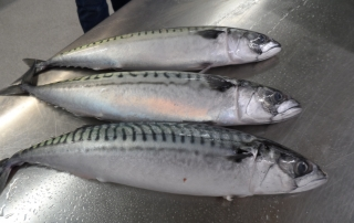 MACKEREL SEASON STARTED NOW IN ICELAND.  AVAILABLE WHOLE ROUND AND FILLETS
